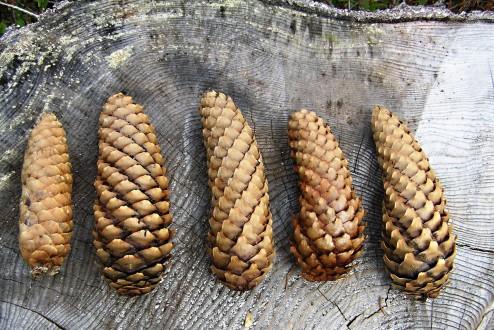 smrek obyčajný - rôzne tvary plodových šupín šišiek smreka obyčajného