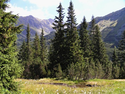 smrek obyčajný - Temnosmrečinská dolina cca 1 500 m n. m.