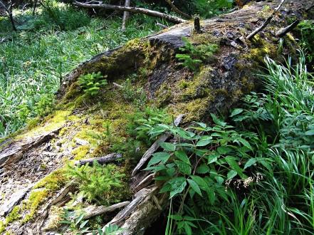 prirodzená obnova smreka na rozkladajúcom sa dreve (tento proces trvá aj desiatky rokov, ale pod ochranou materského porastu - nie suchárov)