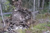 smrek obyčajný - koreňová sústava smreka