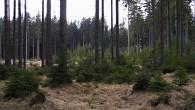 smrek obyčajný - siedmy lesný vegetačný stupeň