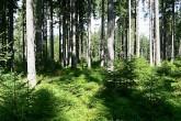 smrek obyčajný - prirodzená obnova smreka v hospodárskom lese pri uplatnení vhodného obnovného postupu - účelový výber (zároveň je umele vnesená jedľa biela a smrekovec opadavý)