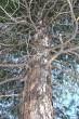 borovica limbová - konáre