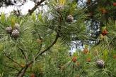 borovica limbová