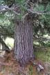 borovica limbová - borka