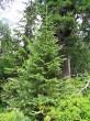 borovica limbová - tesne pod hornou hranicou lesa spolu so smrekom obyčajným, jarabinou vtáčou, brezou karpatskou, ...