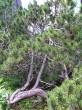 borovica horská