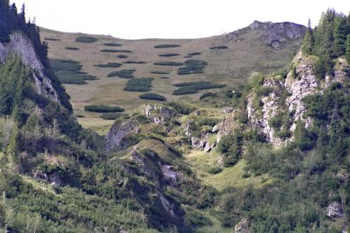 borovica horská - pôdoochranné a protilavínové zalesňovanie (do šachovnice - Tichá dolina - Červené vrchy)