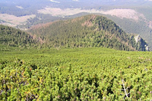 borovica horská nad hornou hranicou lesa tvorí súvislé porasty