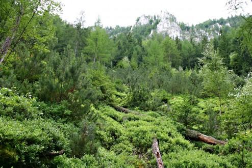 borovica horská - Hrdzavá dolina (Muránska planina)