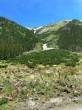 borovica horská - po lavínových žľaboch zostupuje aj do pásma lesa (Tichá dolina)