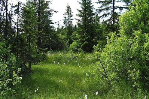 vŕba päťtyčinková - prostredie rašeliniska