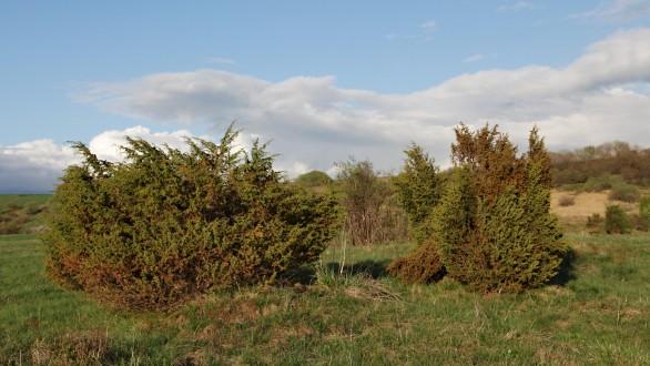 borievka obačajná - ako jedna z prvých obsadzuje nevyužívané plochy