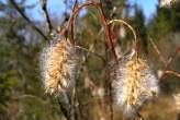 vŕba päťtyčinková - páperisté nažky