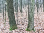 borka (vpravo dub zimný v ľavo dub cerový)