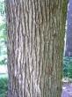 dub zimný - borka
