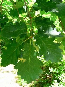 dub zimný - vetvička s listami