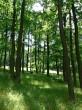 dub zimný - v poraste je koruna vyššie nasadená