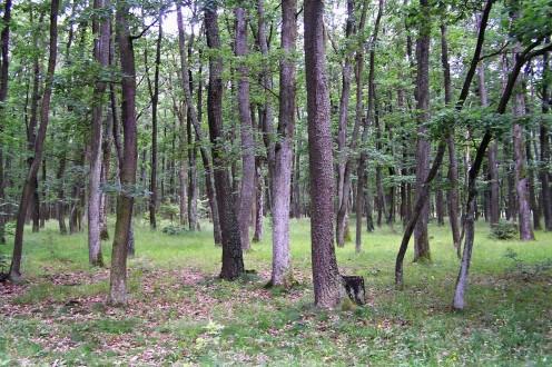 porast duba zimného