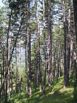 porast borovice čiernej pod Šútovom (vedľa v. n. Krpeľany)