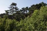 porast borovice čiernej - CHKO Pálava