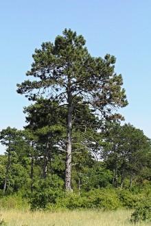 borovica čierna (Ostrov Kopáč)