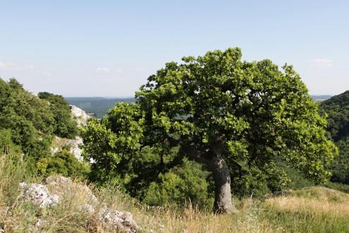 tento dub plstnatý je znakovým stromom CHKO Pálava