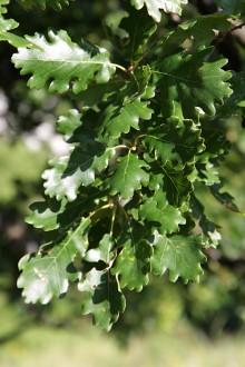 dub plstnatý - vetvička s listami