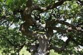 dub plstnatý - koruna