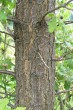 dub plstnatý - kôra