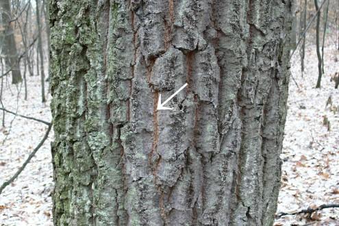 dub cerový - borka (v puklinách hrdzavá až škoricovo hnedá)