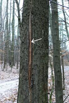 dub cerový - mrazová trhlina (vzniká v dôsledku skorých mrazov, keď ostane v beľovej - okrajovej - časti kmeňa ešte veľa vody)