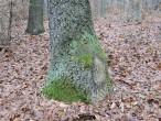 dub cerový - jedinec, ktorý vznikol po spílení materského stromu z pňového výmladku (typickým znakom je zhrubnutý prízemok)