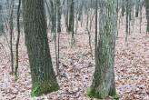 borka (vľavo dub cerový, vpravo dub zimný)