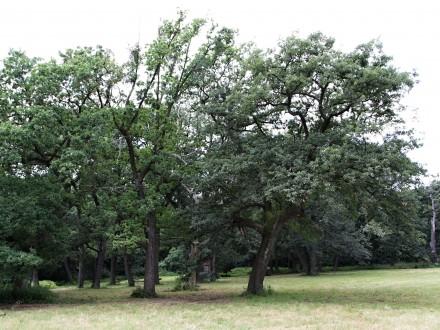 dub cerový - skupina duba cerového (Lednicko-valtický areál)