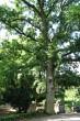 dub cerový - Arborétum Mlyňany