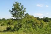 dub cerový cerový na Ostrove Kopáč , ktorý je súčasťou CHKO Dunajské luhy  (Biskupické rameno lemované lužným lesom obklopuje stepnú krajinu podobnú africkej savane)
