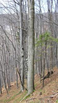 brest horský - v poraste vytvára pomerne priamy, priebežný kmeň