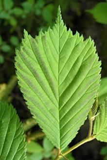 brest horský - listy bývajú na konci často 3 až 5 - hroté (forma tricuspis)