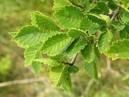 brest hrabolistý - lesostepný ekotyp