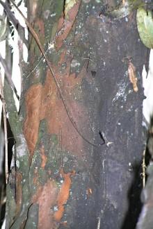 vŕba trojtyčinková - borka (odlupujúca sa v plátoch podobne ako u platana)