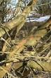 vŕba trojtyčinková - borka