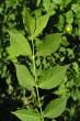 bršlen bradavičnatý - vetvička s listami