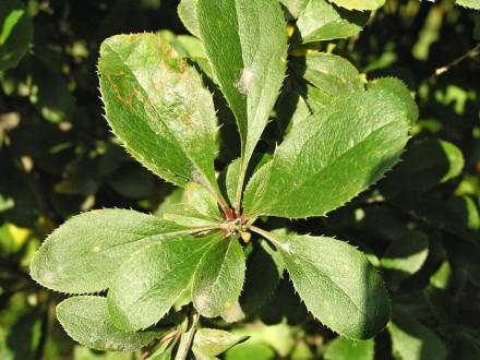 dráč obyčajný - listy vyrastajú vo zväzkoch na brachyblastoch