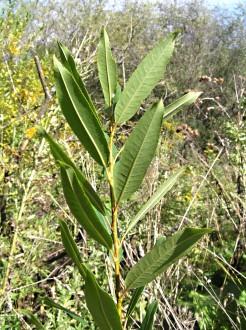 vŕba trojtyčinková - vetvička s listami