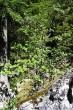 ríbezľa alpínska v presvetlených lesoch