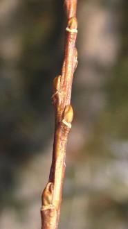 vŕba trojtyčinková - púčiky