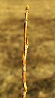 vŕba trojtyčinková - ročný výhonok (letorast)