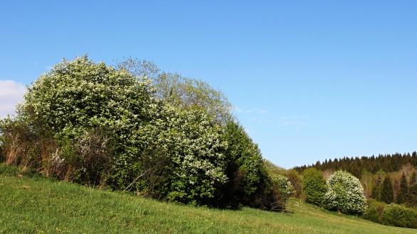 čremcha obyčajná ako krajinotvorný prvok v čase kvitnutia