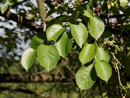 čerešňa mahalebková - vetvička s listami